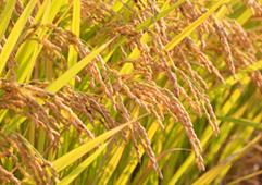 大川農園のお米づくり